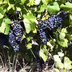 Chateauneuf-raisins