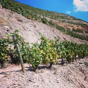 Portugal-vallee-douro-quinta-do-panascal-vigne