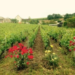 Vignes à l'entrée du domaine Grossot
